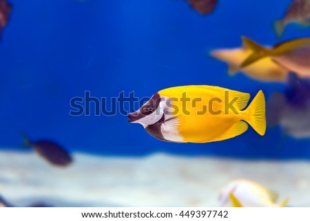 Tropical colorful fishes in aquarium in Moscow. Sunburst butterflyfish. - stock photo