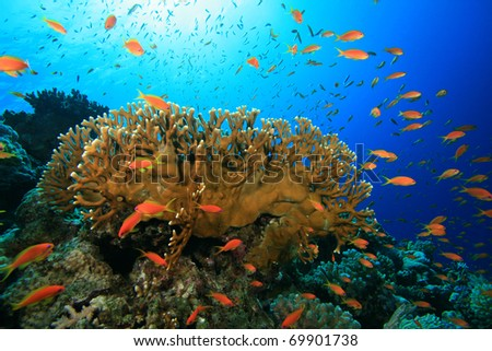 Tropical Coral Reef and Anthias Fish in the Red Sea, Egypt