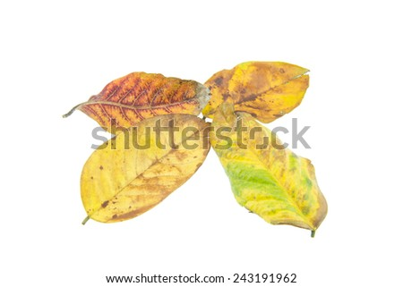 Tropical dry leaves isolated on white background - stock photo