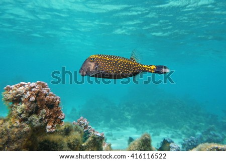 Tropical fish, a male white-spotted boxfish, Ostracion meleagris, Pacific ocean, underwater in the lagoon of Huahine island, French Polynesia - stock photo