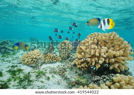 Tropical fish and cauliflower coral in shallow water, Moorea lagoon, Pacific ocean, French Polynesia - stock photo