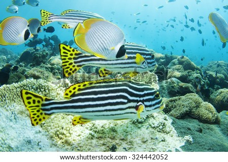 Tropical fish and coral reef of Tulamben, Bali, Indonesia. - stock photo