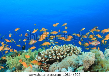 "Tropical Fish (Anthias, or ""Goldfish"") on pristine coral reef"