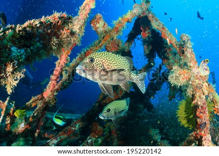 Tropical fish around an underwater wreck
