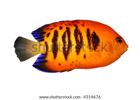 Tropical Fish Centropyge loriculus isolated on white - stock photo