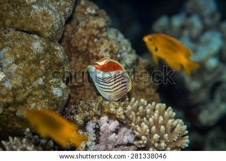Tropical fish - Eritrean butterflyfish eating coral polyps in red sea - stock photo