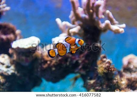 Tropical Fish in Aquarium - stock photo