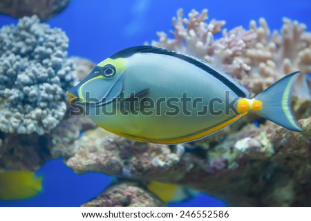 tropical fish in aquarium with coral on background