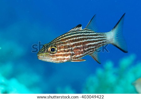 Tropical fish in the Red sea - stock photo