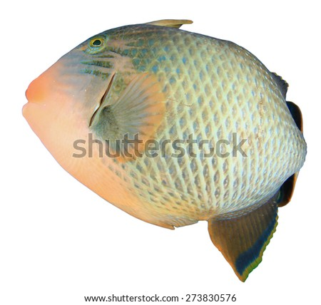 Tropical fish isolated on white background: Yellowmargin Triggerfish