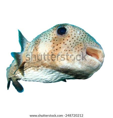 Tropical fish isolated: Porcupinefish - stock photo