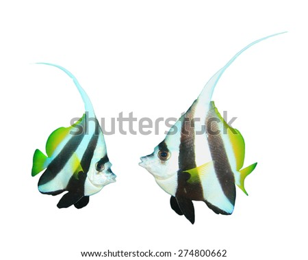 Tropical fish isolated white background: Bannerfish - stock photo