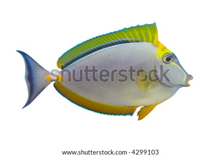Tropical Fish Naso Tang isolated on white - stock photo