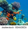 Tropical fish of the Red Sea coral reef - stock photo