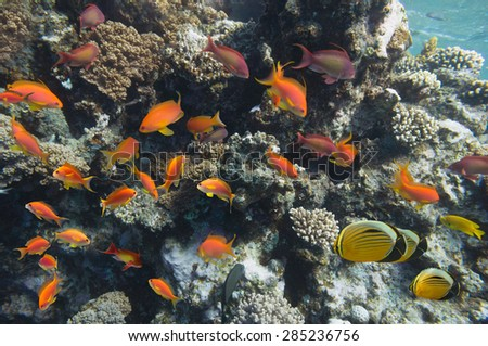 Tropical Fish on Coral Reef in the Red Sea - stock photo