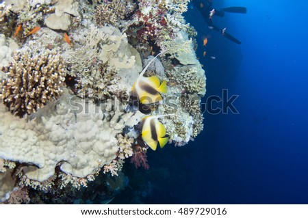 Tropical fish Pennant coral fish or coachman, Red sea, Egypt.
