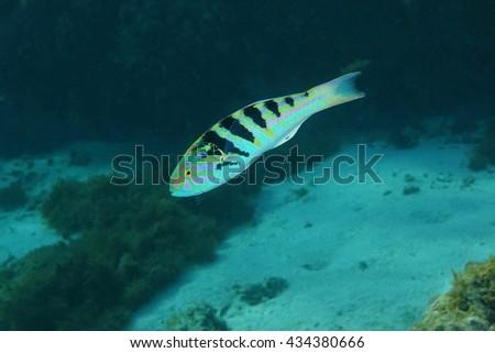 Tropical fish sixbar wrasse,Thalassoma hardwicke, Pacific ocean, underwater in the lagoon of Huahine island, French Polynesia - stock photo