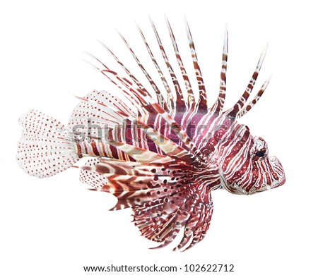 Tropical fish - The Red Lionfish (Pterois volitans) is very dangerous coral reef fish. Lionfish venomous dorsal spines are used for defense. - stock photo