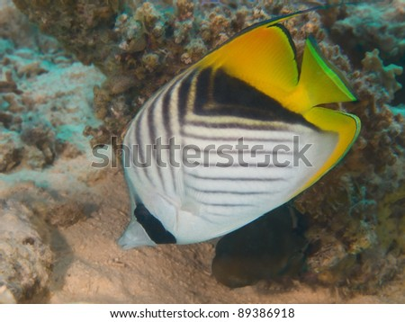 Tropical fish - Threadfin butterflyfish - stock photo
