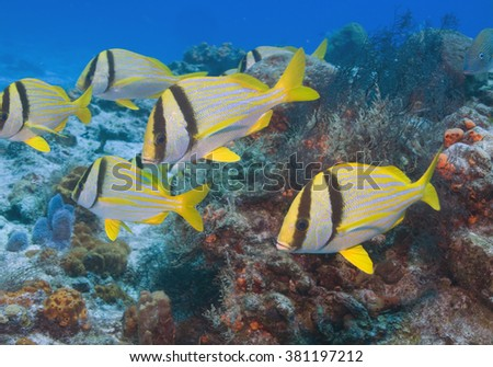 Tropical fish underwater scuba diving at Cozumel, Mexico coral reef - stock photo