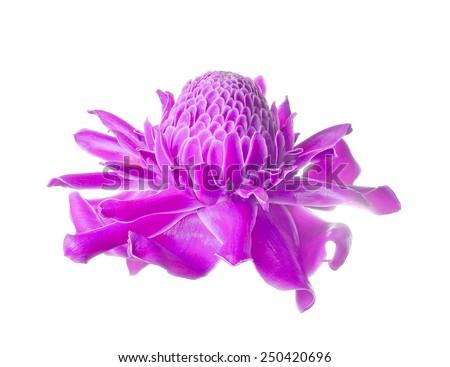 Tropical flower purple torch ginger (Etlingera elatior or zingiberaceae), isolated on white background - stock photo