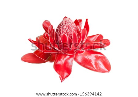 Tropical flower red torch ginger (Etlingera elatior or zingiberaceae), isolated on white background - stock photo