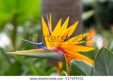 Tropical flower strelitzia or bird of paradise flower in Funchal on Madeira Island,  Portugal.