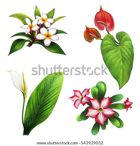 tropical flowers stock images, royaltyfree images  vectors, Natural flower