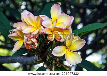 Tropical flowers Plumeria blooming, Madeira, Portugal. - stock photo