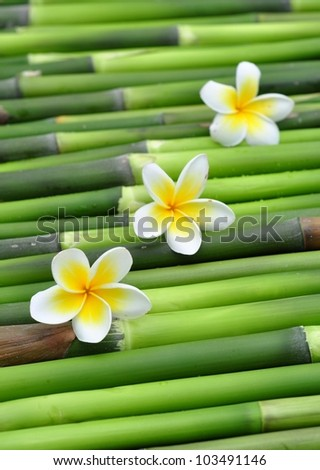 Tropical frangipani on green bamboo - stock photo