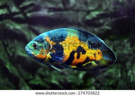 Tropical freshwater fishes of Venezuela and Paraguay - stock photo