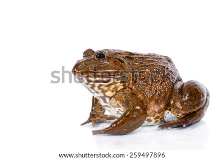 Tropical Frog on Isolated White background - stock photo