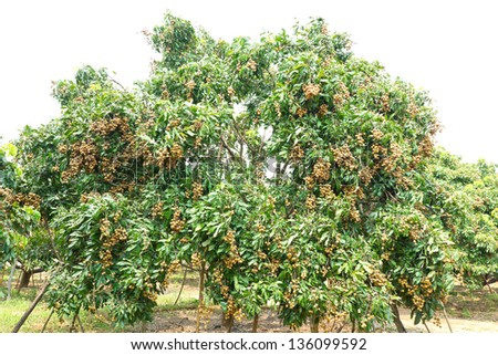 Tropical fruits longan on the tree , in an agricultural north of Thailand - stock photo
