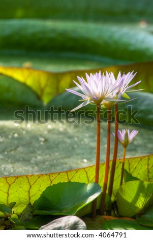 Tropical garden. Exotic flower. Giant lily. (Blue lotus, Victoria cruziana)