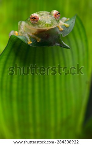 tropical glass frog from Amazon rain forest, Hyalinobatrachium Iaspidiense. Beautiful exotic animal from rainforest with a transparent belly and beautiful eyes - stock photo