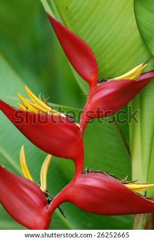 tropical Heliconia flower