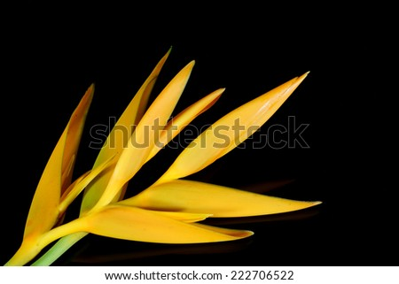 Tropical heliconia flower (Heliconia stricta), isolated on a black background - stock photo