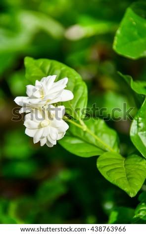 Tropical jasmine flower and leaves background in Garden.White Jasmine Flower in Thailand.Jasmine (Other names are Jasminum, Melati, Jessamine, Oleaceae)  - stock photo