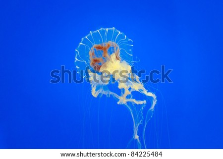 Tropical jelly fish close up - stock photo