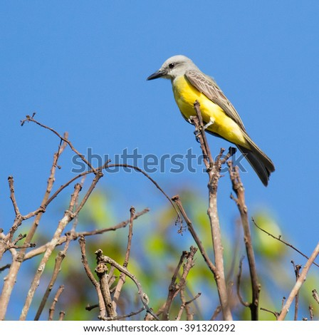 Tropical Kingbird (Tyrannus melancholicus) perched on a branch - stock photo