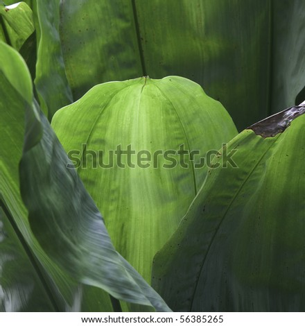 tropical leaf green background texture with copy space veins rain forest palm tree close-up jungle - stock photo
