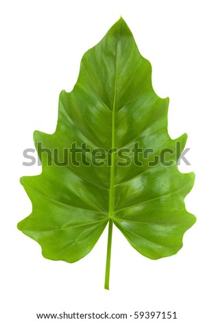 Tropical Leaf of the Philodendron isolated with clipping path - stock photo