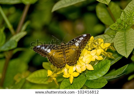 tropical lepidopterous insects - stock photo