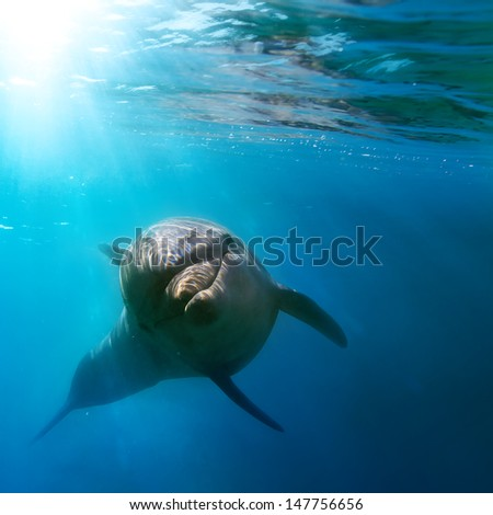 tropical marine life with wild dolphin swimming underwater close the sea surface between sunrays - stock photo