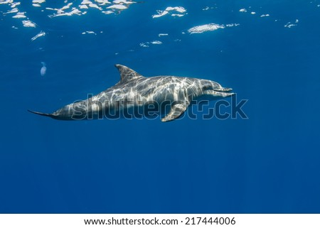 tropical marine life with wild dolphins underwater - stock photo