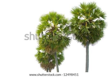 Tropical mature palm trees against white background.