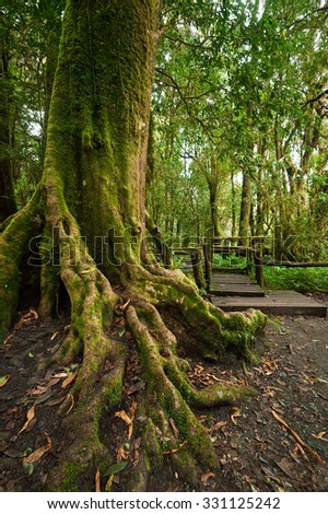 Tropical misty rainforest landscape of outdoor park with big tree roots, jungle plants and wooden bridge. Travel background at Doi Inthanon, Chiang Mai province, Thailand - stock photo