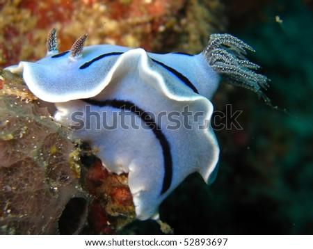 Tropical Nudibranchs - stock photo