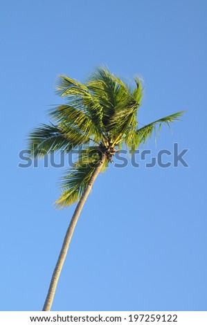 tropical palm tree against blue sky  - stock photo