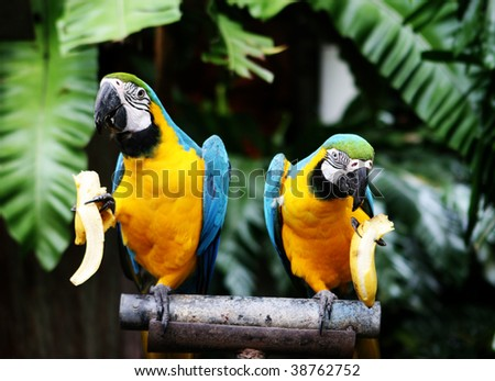 Tropical parrots eating banana at a zoo. - stock photo